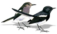 Doel - Magpie Robin, national bird of Bangladesh